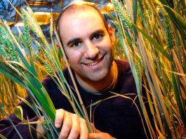 edición genética del trigo