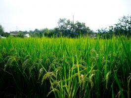 feria arroz parral