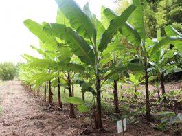 bananos Isla de Pascua