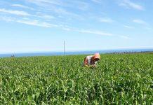pulgones del trigo