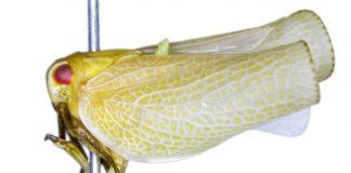 "Acanalonia chloris ""chicharritas"""
