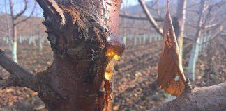 Control de cáncer bacterial en cerezos