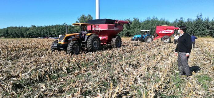 Cosecha de maíz grano