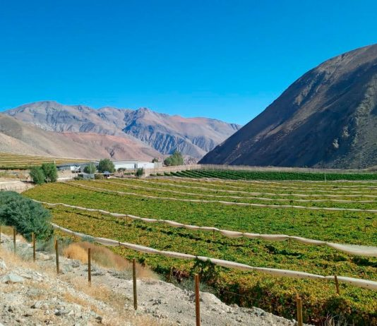Uva de Mesa de los valles de Atacama