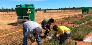 Ensayo INIA evalúa 70 ecotipos dealfalfa