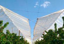 cobertores plásticos de baja densidad en cerezos aumenta su calibre para exportación