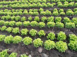 Sepa porqué se debe consumir hortalizas