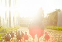 Unifood y La Clementina lideran el ranking de transparencia en bienestar animal en Chile