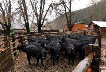 exportación de ganado en pie a China