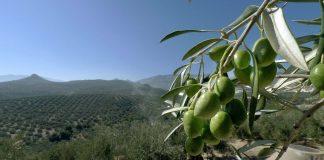 Aceite de Oliva del Valle del Huasco y su aporte en la salud
