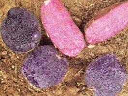 Papas Moradas y Rojas: Alimentos que colorean y aportan a la salud