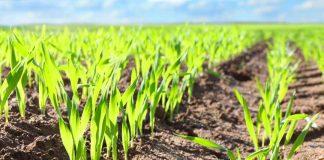BASF lanza Zidua®, herbicida que entrega una nueva solución para control de malezas gramíneas en trigo y triticale