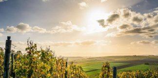 Vendimia 2020: SAG lanza informe de cosecha de vinos
