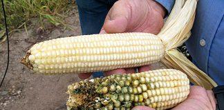 cultivos GM y la biotecnología