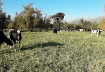 En Pirque crean pionero centro de ganadería regenerativa para modernizar prácticas de la agricultura