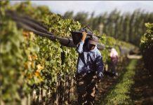 Impulsan vinos de pequeños agricultores con rescate patrimonial del Valle de Cachapoal: de arropes, pipeños y asoleados