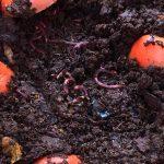 Lombrices ayudan a agricultores a transformar sus sistemas productivos