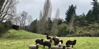 producción ovina de la raza Künko