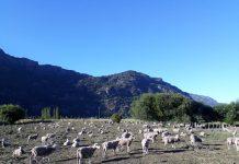 Criadores ovinos de la Patagonia Verde obtienen sus primeros reproductores mejorados genéticamente