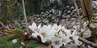INIA entrega recomendaciones para el manejo de huertos de cerezo dañados por la nieve