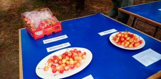 Chile apuesta a tener sus propias variedades de cerezas