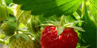 Científicos de Doctorado en Ciencias UTalca generan manejo para producir frutillas más rojas