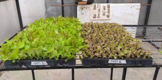 Investigación busca utilizar residuos de algas como abono en la producción de hortalizas