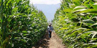 Balance y números positivos de INDAP en la gestión de la cobertura de precios del maíz