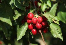 Gobierno crea grupo de trabajo para abordar situación de cerezas chilenas en China