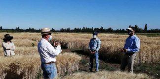 INIA mantiene desarrollo de variedades de trigos adaptadas a condiciones de cambio climático en el centro sur de Chile