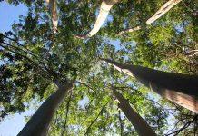 Técnica permite predecir productividad y calidad que tendrán Eucaliptus
