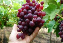 Catástrofe Agrícola: Productores de fruta ya han perdido 150 millones de dólares a menos de una semana de las lluvias
