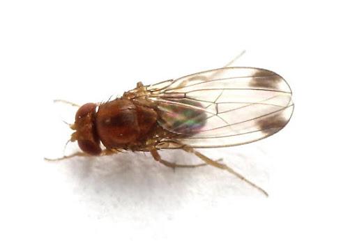 Minagri Los Ríos organiza capacitaciones sobre mosca de alas manchadas