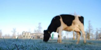 En webinar lechero expertos de INIA Remehue entregan recomendaciones para otoño-invierno