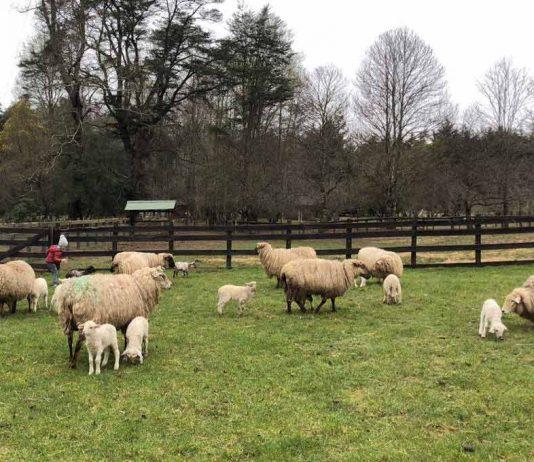 Innovador emprendimiento familiar se abre camino en la fabricación de productos de ovejas vascas