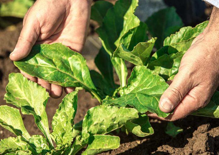 Con importantes inversiones y mejoras Empresas Iansa da inicio a una nueva campaña de cosecha de remolacha