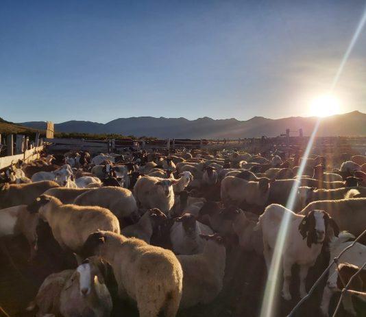 Últimos rebaños de animales regresan desde las veranadas en la provincia de Biobío