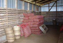 INIA Remehue da a conocer recomendaciones para la cosecha y almacenamiento de papa