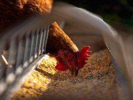 Agronomía UdeC desarrollará biocarbón como aditivo dietario para la avicultura