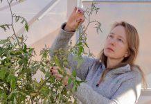 Avanza desarrollo de tomates CRISPR resistentes al cambio climático