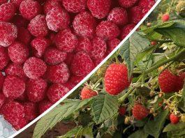 """Más de mil técnicos y agricultores de berries han accedido al protocolo de inocuidad """"PRO FSMA"""""""