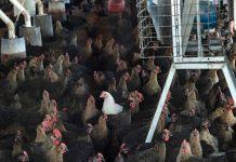 mortalidad de gallinas