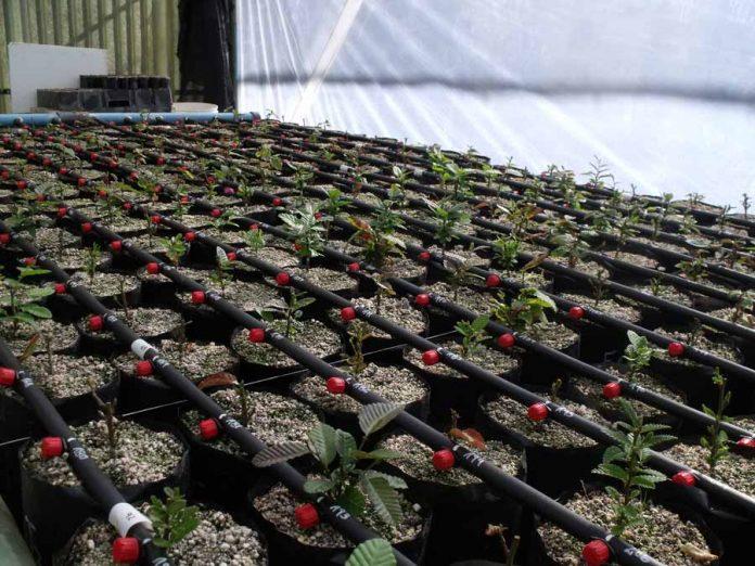 Por primera vez 150 híbridos de roble-raulí serán testeados en diversos suelos y clima nacional
