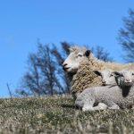 Seminario internacional busca fortalecer la competitividad del rubro ovino en Aysén
