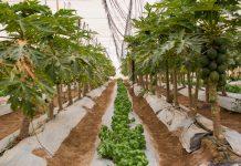 Pampa Concordia producirá papayas orgánicas