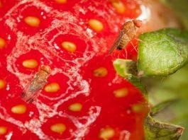 (AUDIO) INIA La Platina entrega recomendaciones para enfrentar mosca de alas manchadas en la zona central
