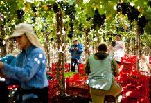 El 76,1% de las cooperativas agrícolas de La Araucanía son conformadas por población mapuche