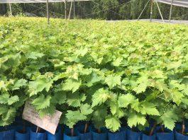 Nueva Vid amplía sus servicios para la fruticultura y apuesta por la producción de cerezos y otras especies