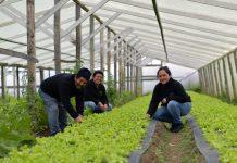 Cooperativa de Puerto Natales aumentó producción de lechugas gracias a vivero climatizado