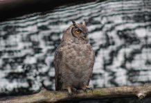 SAG Biobío devuelve a su hábitat ejemplar de tucúquere